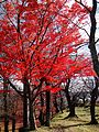 The Japanese maple leaves - panoramio.jpg