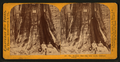 The Keystone State - Big Tree Grove, Calaveras County, by Lawrence & Houseworth.png