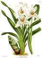 The Orchid Album-01-0077-0025-Cymbidium parishii.png