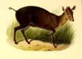 The book of antelopes (1894) Cephalophus niger.png