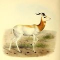 The book of antelopes (1894) Gazella ruficollis.png