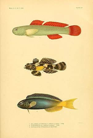 The fishes of Samoa (Plate LIII) (5998453713).jpg
