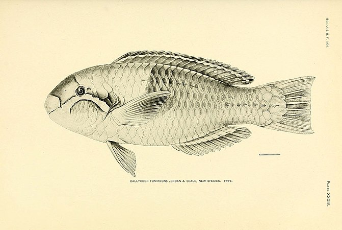 The fishes of Samoa (Plate XXXIV) (5998445651).jpg