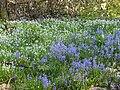 Three Cornered Leeks and Bluebells.jpg