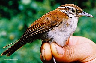 Rufous-and-white wren species of bird