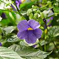 Thunbergia natalensis-IMG 9430.jpg