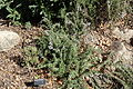 Thymus juniperifolia (sic) - Leaning Pine Arboretum - DSC05719.JPG