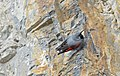 Tichodrome échelette Tichodroma muraria aDSC 0996 (51012976050).jpg