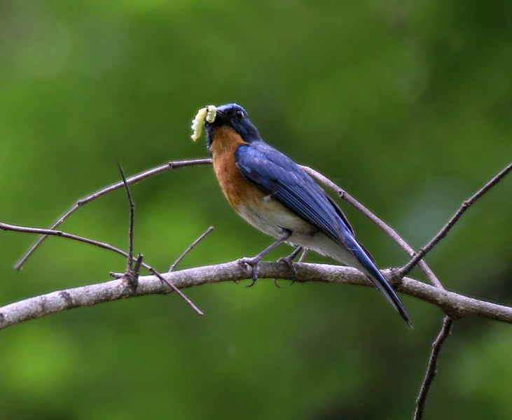 Tickell's Blue Flycatcher (Cyornis tickelliae) with feed W IMG 9340