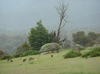 Tidbinbilla Nature Reserve - Image: Tidbinbilla Kangaroos