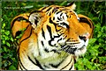 Tiger (137104633).jpeg