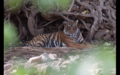 Tiger in Ranthambore 6.png