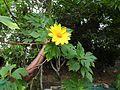 Tithonia diversifolia-1-seker coffee-yercaud-salem-India.jpg