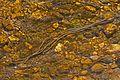 Toad eggs - Patuxent National Wildlife Refuge, Laurel, Maryland.jpg