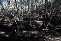Topiary at the Las Piñas-Parañaque Critical Habitat and Ecotourism Area (LPPCHEA).jpg