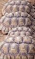 Tortoise (3313938075).jpg