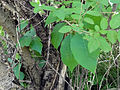 Toxicodendron radicans 03133.jpg