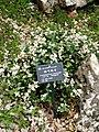 Trachelospermum jasminoides - Kunming Botanical Garden - DSC02996.JPG