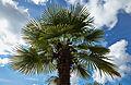Trachycarpus fortunei-IMG 9402.jpg
