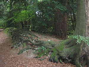 English: Tree Wall The roots of several of the...