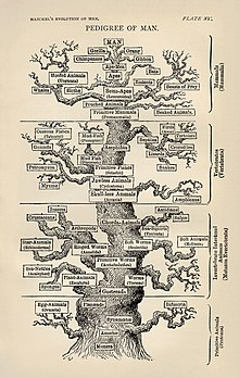 Ernst Haeckel's pedigree of Man family tree from Evolution of Man