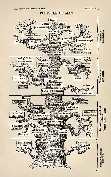 File:Tree of life by Haeckel.jpg