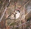 Tree sparrow (31114508951).jpg