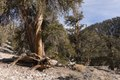 Trees in the Ancient Bristlecone Pine Forest along White Mountain Road east of Bishop, California LCCN2013633931.tif