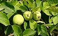 Tres manzanas (49281036526).jpg