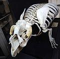 Trichecus manatus skeletton Lamantin GLAM MHNL 2016 Lamiot 67.JPG