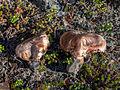 Tricholoma colossus (15270054389).jpg