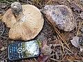 Tricholoma colossus 687617.jpg