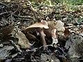 Tricholoma quercetorum Contu 579379.jpg