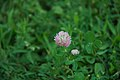 Trifolium repens in the garden of the Saint-Chiristophe Church 03.jpg