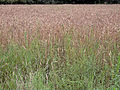 Triticum aestivum field, gewone tarwe veld.jpg