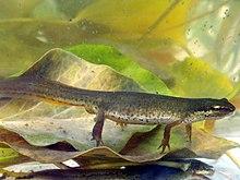 Female newt under water, sitting on leaf