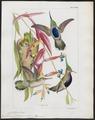 Trochilus delalandii - 1820-1860 - Print - Iconographia Zoologica - Special Collections University of Amsterdam - UBA01 IZ19100469.tif