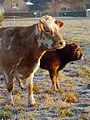 Tromm Kuh und Kalb 2011.JPG