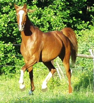 Horse gait - The trot, a two-beat gait involving diagonal pairs of legs. The two legs with white stockings are off the ground.