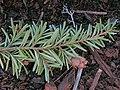 Tsuga heterophylla foliage cones Change Creek.jpg