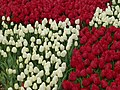 Tulip 1300192.jpg