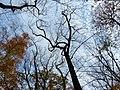 Tulip Tree (30877368582).jpg