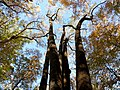 Tulip Tree Quintuplets (22749039058).jpg