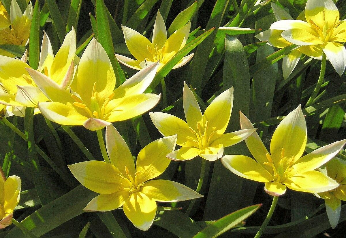 Tulipa Tarda Wikipedia