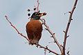 Turdus migratorius 4477.jpg