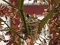 Turdus pilaris nest.jpg