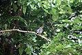 Turdus plumbeus in Dominica-a03.jpg