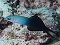 Twotone dartfish (Ptereleotris evides) (47830281651).jpg