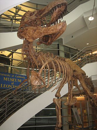 University of California Museum of Paleontology - A Tyrannosaurus skeleton located on the first floor of the VLSB