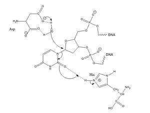 Uracil-DNA glycosylase - Step 1: Nucleophilic water attacks the C-N glycosidic bond (intercalation by Leu272 not shown for simplicity).